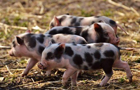 Piggy 465x300